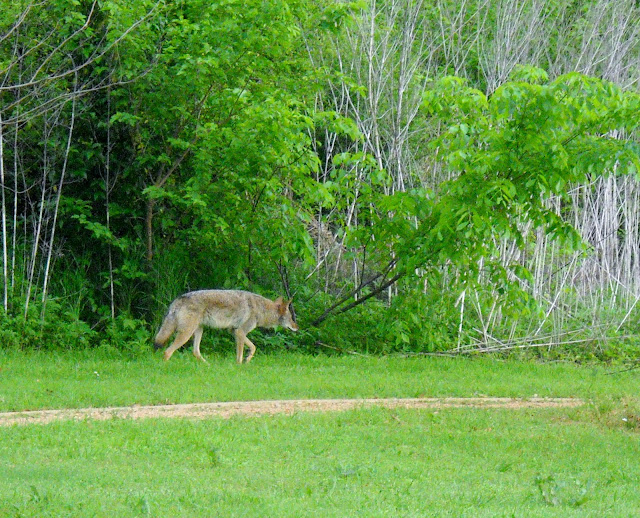 Coyotes at White Rock Lake, Dallas, Texas