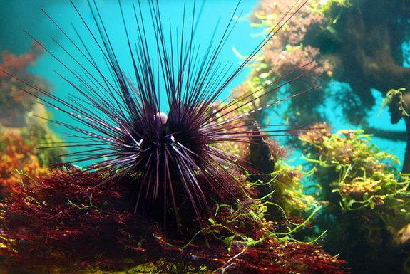 Landak Laut Spiky