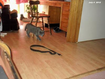 Grey cat approaches belt