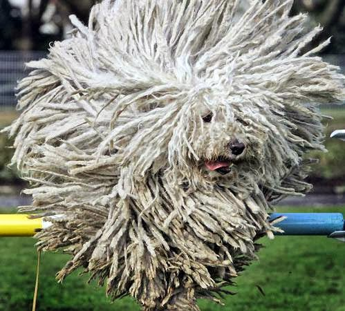What Breed Of Dog Has Dreadlocks