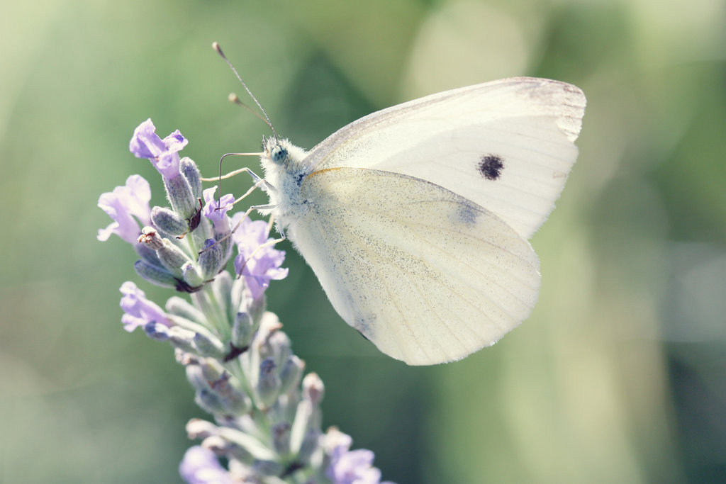 Resultado de imagen para mariposa blanca