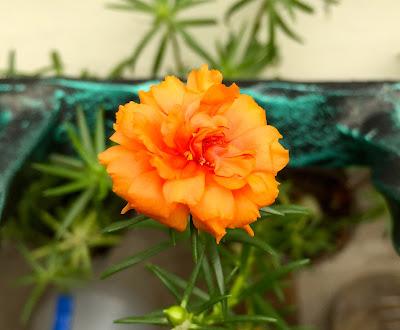 Orange Portulaca Grandiflora