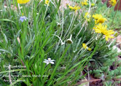 Annieinaustin,4 nerve daisy,blue-eyed grass