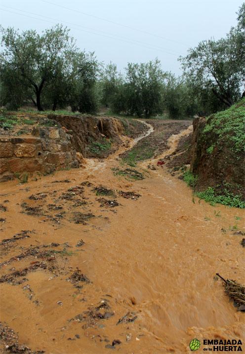 Inundaciones en campo de olivos variedad Picual