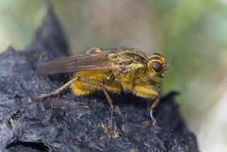 Para ampliar Scathophaga stercoraria (mosca amarilla del estiércol) hacer clic
