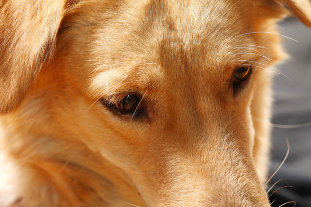 Close up of a brown dog's face
