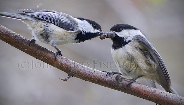 Adult male Black-capped Chickadee (left) feeds spiders to his adult female mate just prior to egg-laying (c) John Ashley