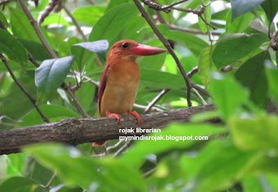 Ruddy Kingfisher in Bidadari