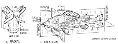 simetri radial, bilateral