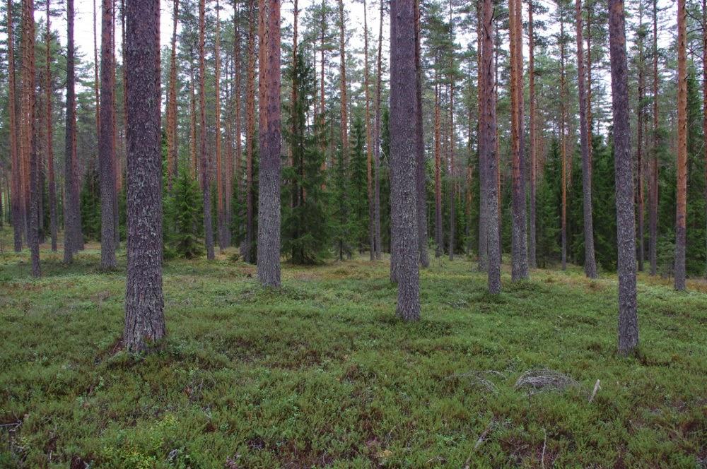 Vt metsätyyppi