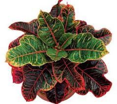 puring, budidaya, tanaman, cara menanam