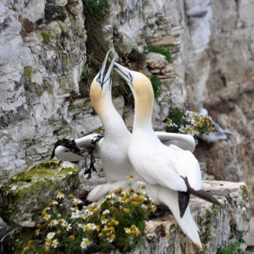 Northern Atlantic Gannets