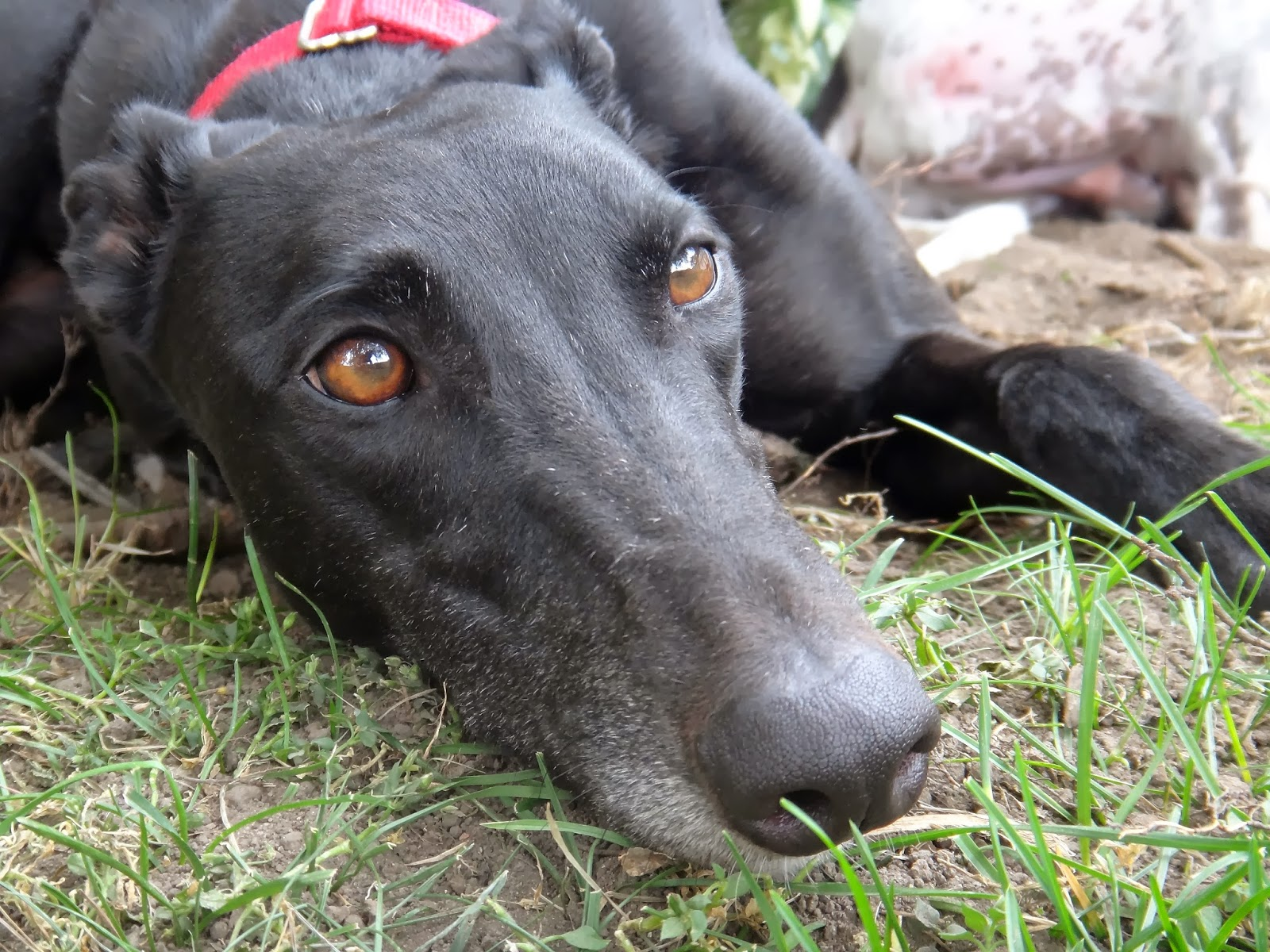 Greyhounds for sale  The Greyhound Breeding and Racing