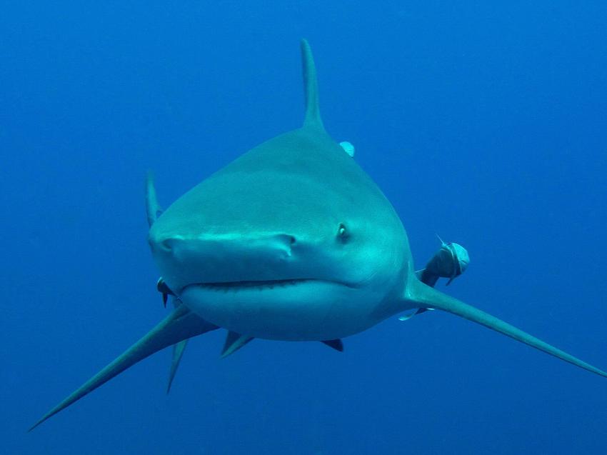 Grey reef shark vs bull shark - photo#16