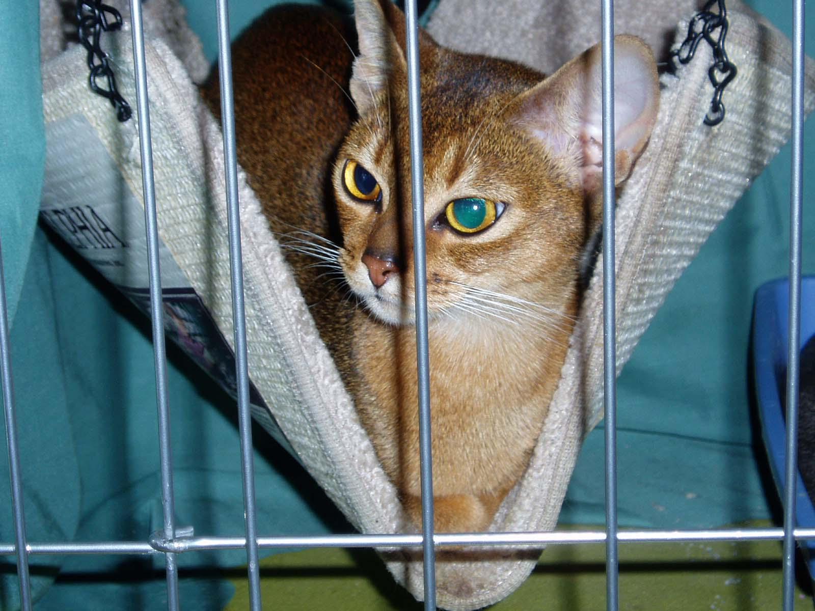 http://2.bp.blogspot.com/-KnN5Meb3ouY/Tx74s8sLkRI/AAAAAAAAFPQ/Wn7PcdKxv-w/s1600/Abyssinian+Cat+Breed++%252838%2529.jpg