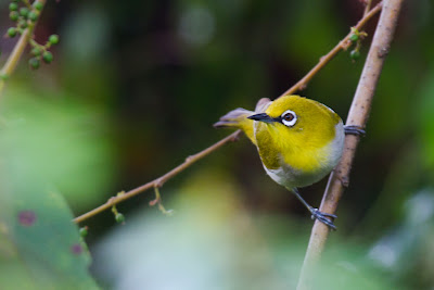 A photograph of a White-eye (Zosterops palpebrosa) taken in Thalangama, Sri Lanka