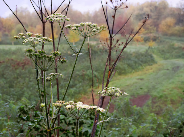 Hogweed flowers and dead stems overlooking meadow