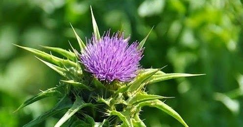 Laminitis Research: Milk Thistle Tested in Laboratory for Possible Endotoxin Neutralization