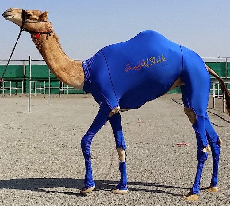لباس أزرق عليه شعار الشبلة