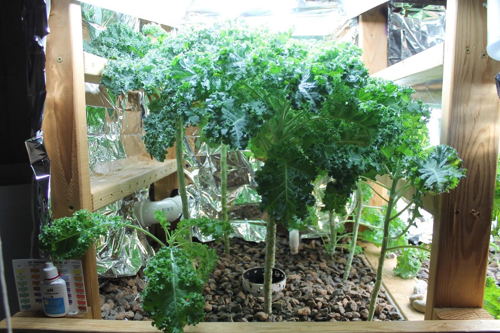 aquaponics disease strikes and future plans simple suburban living