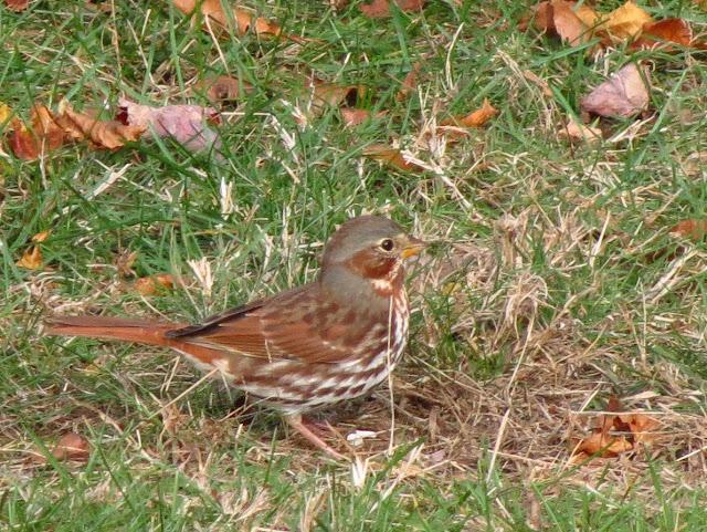 fox sparrow looking good