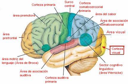 Psicoterapia Educacional: Fisiología y Función del Sistema Nervioso