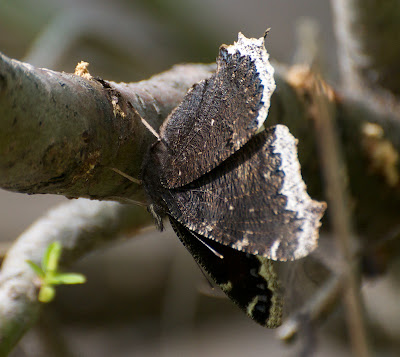 Mourning Cloak (Nymphalis antiopa)