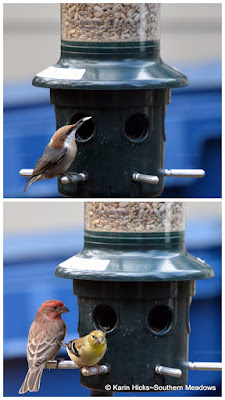 song birds at feeder