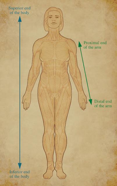 Human anatomy terms