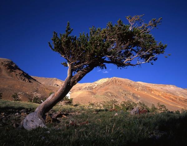 عينات '' لاقدم شجرة'' في العالم بالصور 15_Bristlecone-Pine-Tree-441440.img_assist_custom-600x468