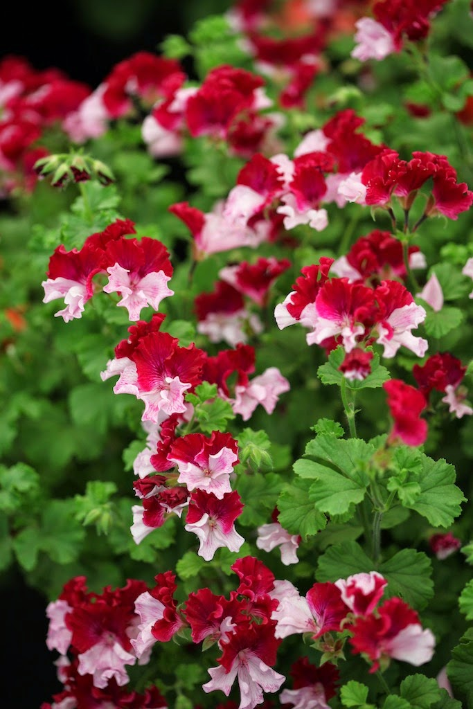 Flowers geraniums pelargonium on pinterest geraniums perennials and ivy - How to care for ivy geranium ...
