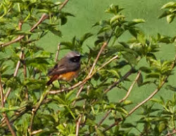 ♂ Redstart, 7th April 2011