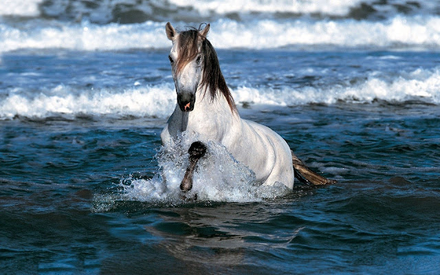 White horse running through the sea