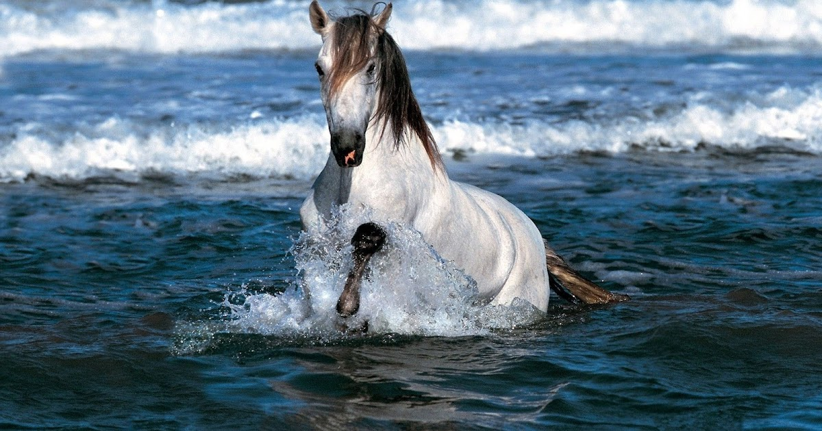 White Horse Running Through The Sea Hd Animals Wallpapers
