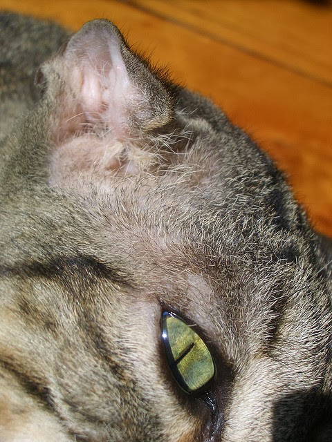 Treatment For Cauliflower Ear In Cats