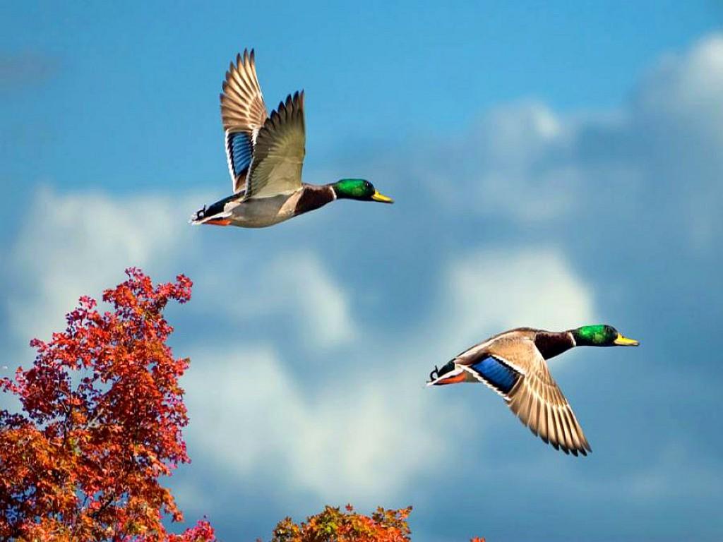 http://2.bp.blogspot.com/-KpNH9qULOSU/T9cbj_qWx0I/AAAAAAAABAU/YCBdbqvrVvs/s1600/Flying_Birds_Wallpaper__yvt2.jpg