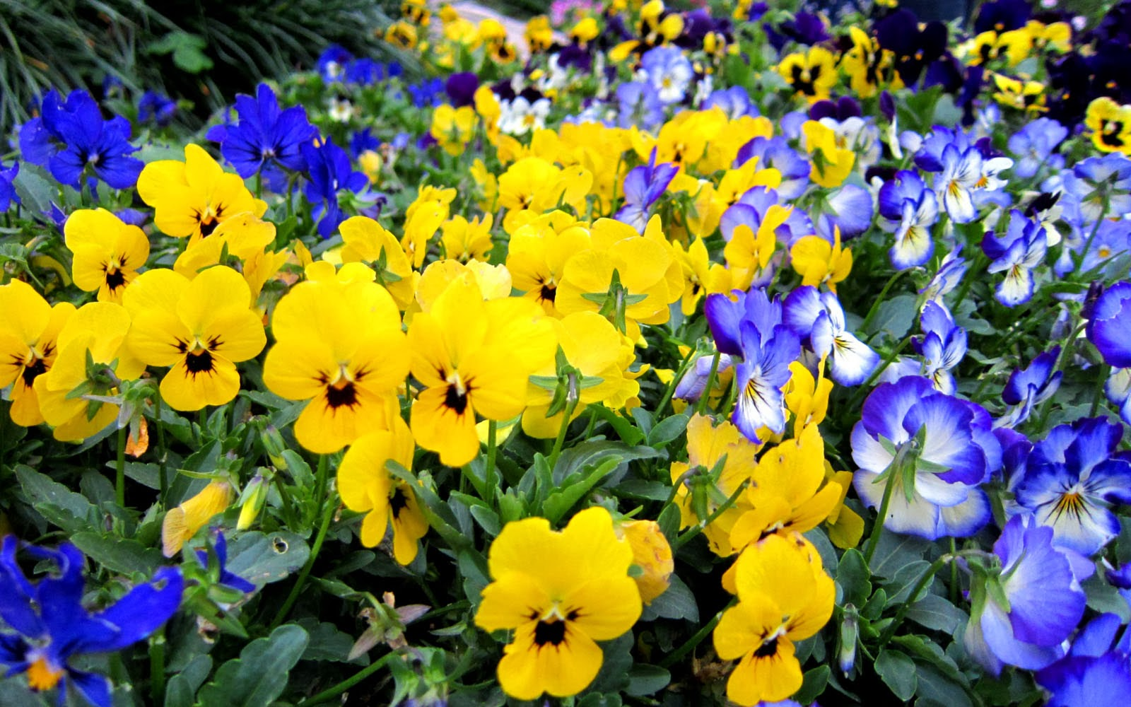 Wallpapers Pansy Flowers Wallpapers