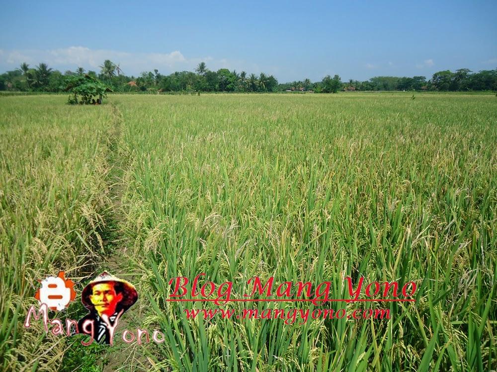 Indahnya hamparan sawah padi mulai menguning