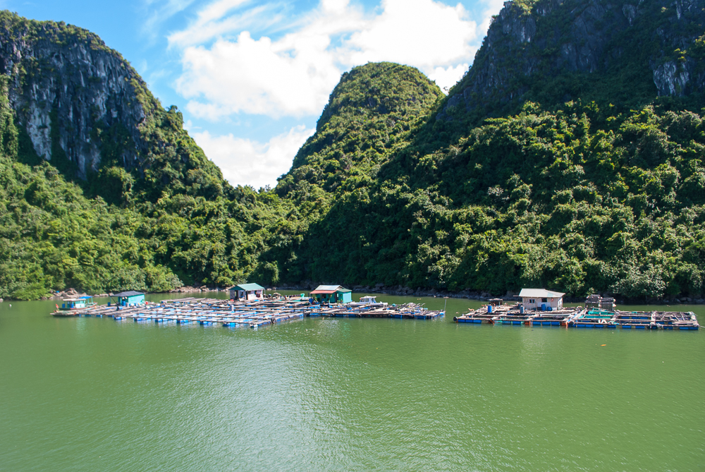 pearl farm harvesting ha long bay vietnam