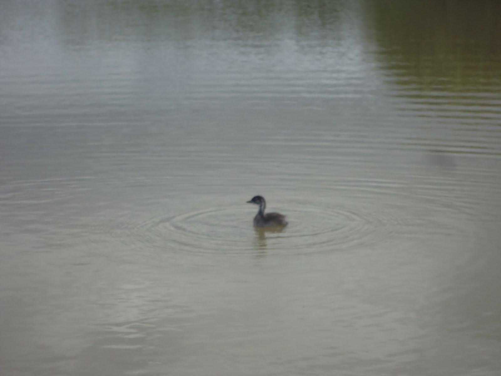 Um filhote de marreco na lagoa