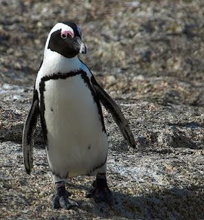 jackass penguin pic