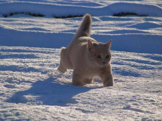 Gato en el hielo