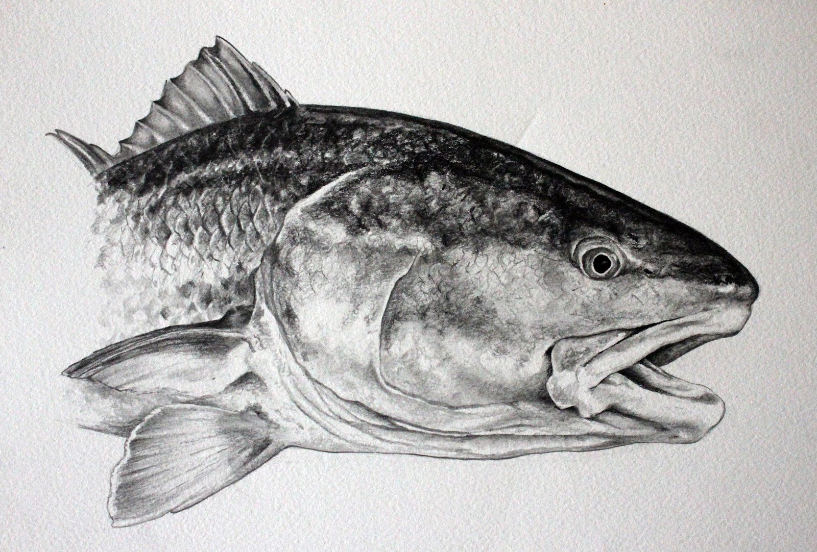 Ready for the finishing touches Redfish Drawing