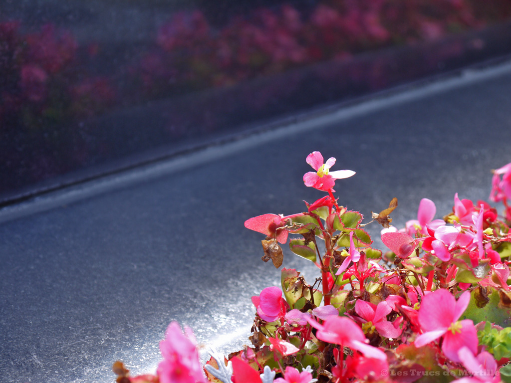 Fond d'écran OCTOBRE 2012, avec et sans calendrier - Fleurs roses (photo sept. 2012)