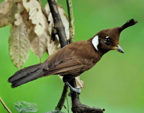 Suara Burung Cililin, Masternya Murai Batu dan Lovebird