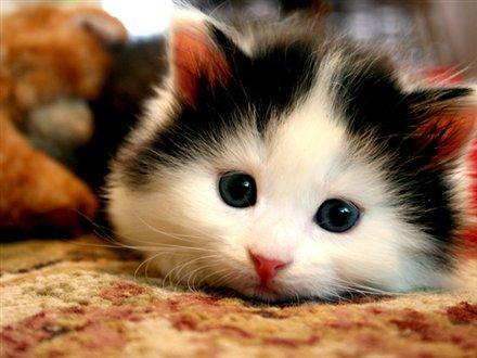 Gambar Anak kucing imut lagi menatap kamera