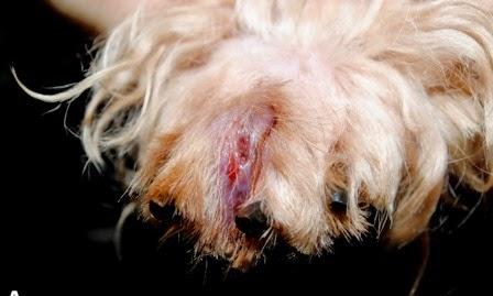 Penyakit scabies pada anjing