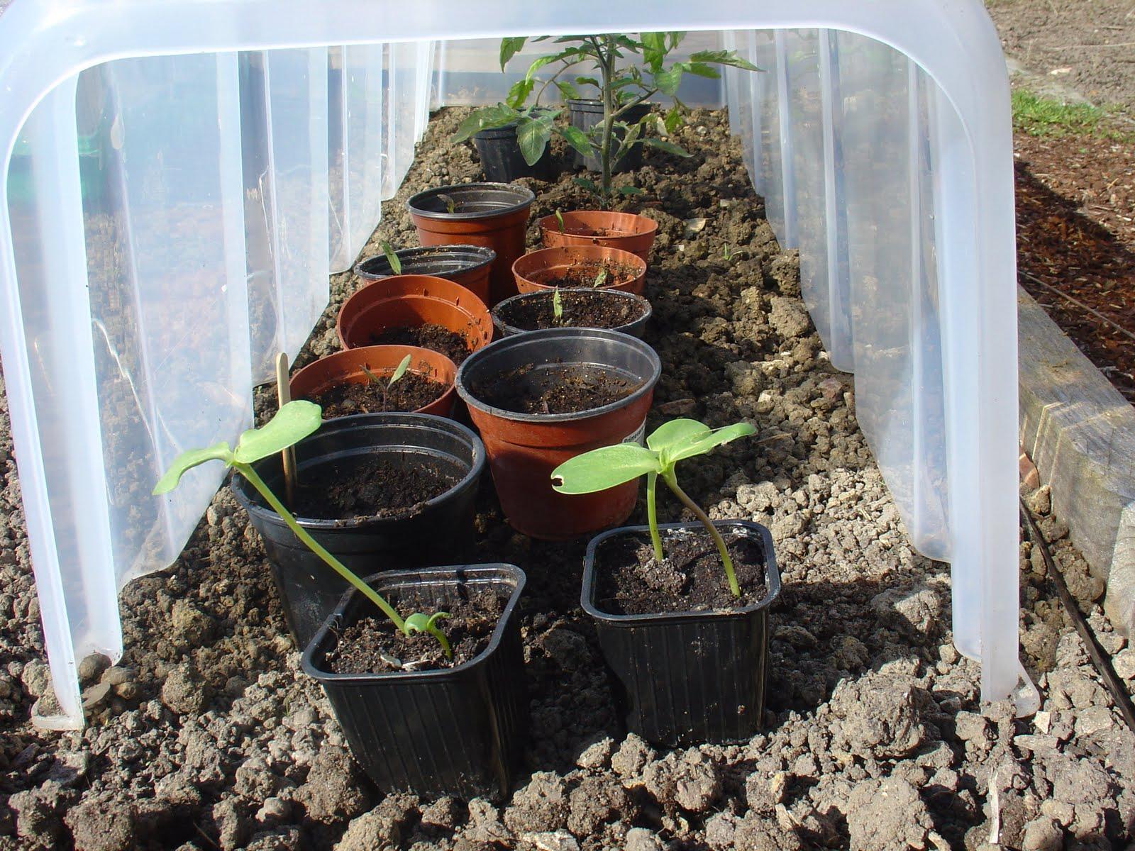 On verra au jardin je m 39 emballe - Planter des graines de potiron ...