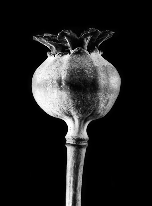 365 photo project, macro poppy seed pod, Lisa On location photography. New Braunfels, Austin, San Marcos, San Antonio. Karl Blossfeldt