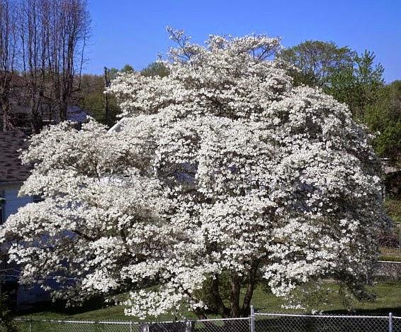 Flowering Dogwood (next door neighbor's tree)